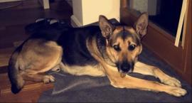Właściciele psa Szarika apelują o pomoc w odnalezieniu psa. Oferują wysoka nagrodę